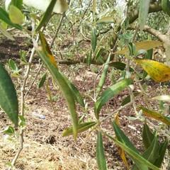Maltempo, nelle campagne di Molfetta è strage di ulivi