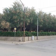 Mancata potatura degli alberi di tamerici
