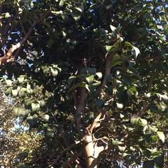 L'albero che sostituirà il precedente