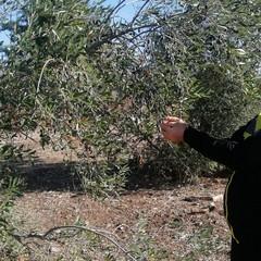 «Espiantati numerosi ulivi nella zona industriale di Molfetta. Perché?»
