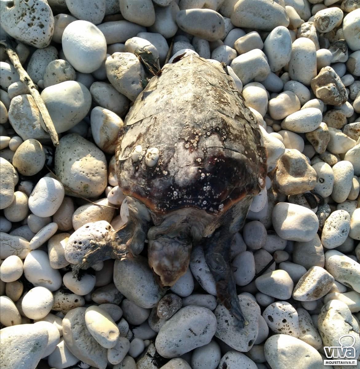 Una delle tartarughe rinvenute a Molfetta
