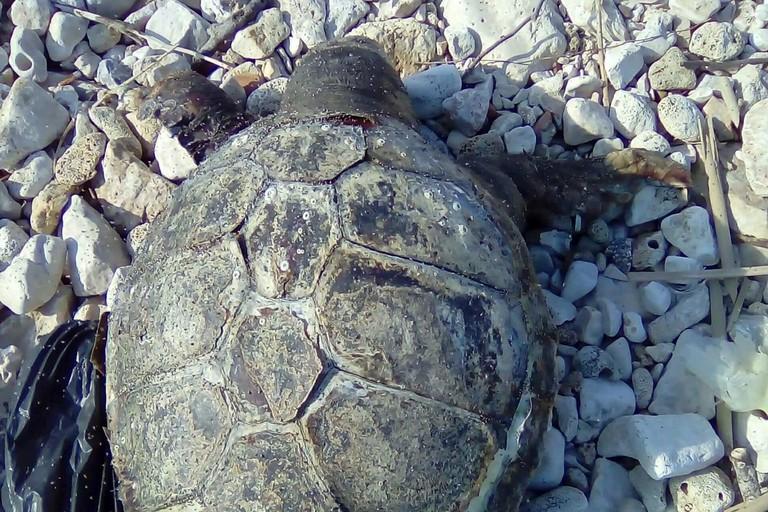 La tartaruga rinvenuta al camping Campofreddo