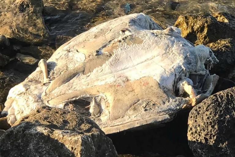 La tartaruga rinvenuta al lido Algamarina