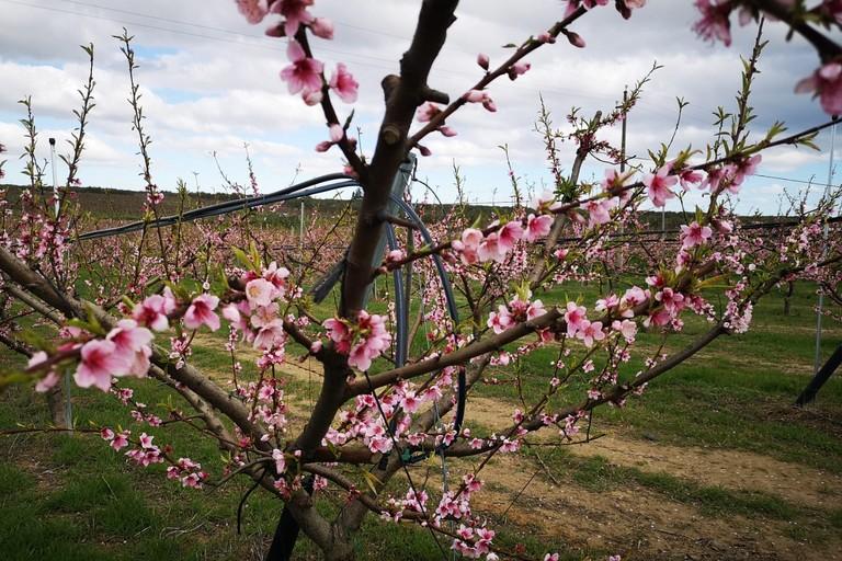 Alberi da frutto fioriti in Puglia