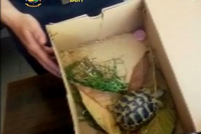 La tartaruga sequestrata dalla Guardia di Finanza