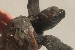 Salvata la tartaruga spiaggiata dopo la mareggiata. Ora è a Molfetta