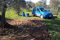 Sventato furto di olive, ladri in fuga