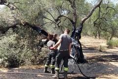 Bruciano due ettari di ulivi fra Molfetta e Terlizzi. «Viene da piangere»