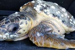 Spiaggiate due tartarughe a Mola e Giovinazzo: salvate