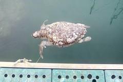 Ritrovata morta una tartaruga marina nel porto di Giovinazzo