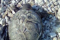 Tartaruga senza vita spiaggiata a Giovinazzo