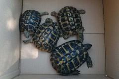 Scoperti 4 esemplari di tartaruga. Erano detenuti illegalmente