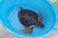 La tartaruga Petrolina liberata in mare dopo le cure