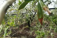 Maltempo, continua la primavera maledetta» nelle campagne di Molfetta