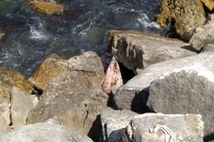 Delfino morto, l'animale incastrato tra gli scogli del lungomare Colonna