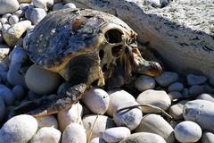 Tartarughe rinvenute decapitate, ci sono già dei sospettati?
