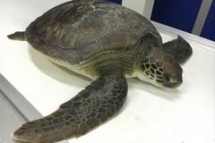Un docufilm sulle tartarughe marine del centro di Molfetta