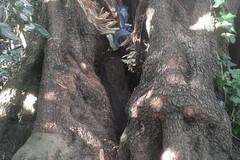 Vandali devastano carrubo monumentale a Lama Martina