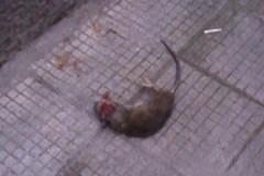 """Topi morti a due passi dalla scuola """"Filippetto"""""""