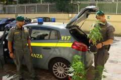 Scoperte 12 piante di canapa indiana. Un arresto