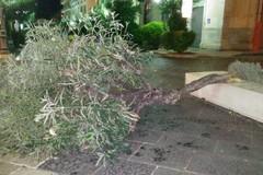 Cade un albero su Corso Umberto: scarsa manutenzione?