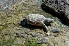 Tartaruga senza vita spiaggiata alla seconda Cala