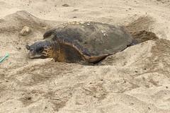 Dall'Adriatico al Tirreno sulla scia delle tartarughe marine