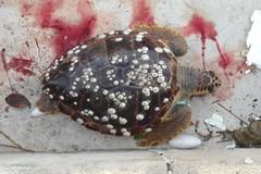 Tartaruga spiaggiata nel porto di Molfetta