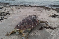 Ancora tartarughe spiaggiate sul litorale di Molfetta