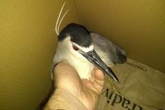 Uccelli migratori in difficoltà: una nitticora salvata dal WWF