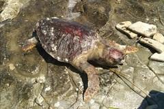Ancora una tartaruga spiaggiata sul litorale di Molfetta