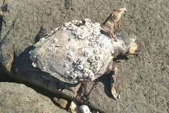 Ennesima tartaruga spiaggiata, è strage di esemplari lungo la costa