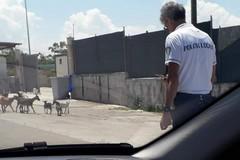 Capre sulla litoranea: disagi al traffico tra Giovinazzo e Molfetta