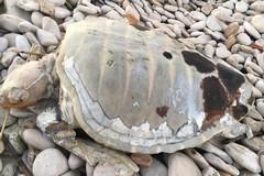 Tartaruga caretta caretta morta trovata a Torre Calderina