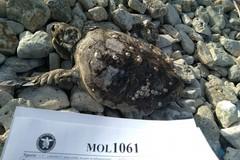 Carcassa di tartaruga spiaggiata a cala San Giacomo