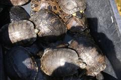 Sequestrate 20 tartarughe d'acqua dolce e affidate al WWF Puglia