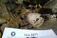 Un'altra tartaruga morta a Molfetta, trovata al lungomare Colonna