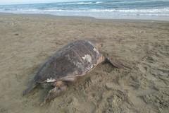 Due tartarughe marine accomunate da un tragico destino