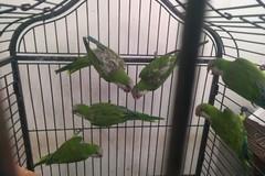 Deteneva illegalmente sei pappagalli: denunciato un 63enne
