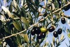 Prevenzione contro i furti di olive nelle campagne