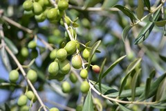 A Molfetta una task force per contrastare i furti di olive nelle campagne