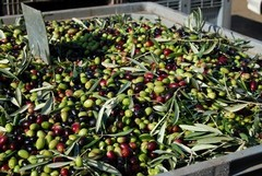 Olio extravergine d'oliva, convegno all'Alberghiero