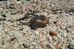 """Carcassa di tartaruga rinvenuta sulla spiaggia """"La bussola"""""""