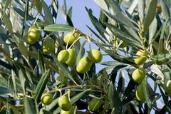 Il Comune di Molfetta chiede interventi nell'agro per prevenire la Xylella