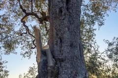 L'Ulivo di Antignano è salvo, reciso solo un ramo giovane