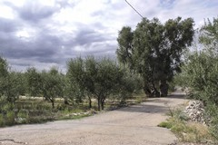 Legambiente: «L'ulivo di Antignano non si tocca!»