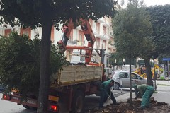 Riqualificazione degli spazi pubblici: 80 nuovi alberi piantati in città