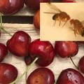Sciami di moscerini Suzukii devastano l'agricoltura: è allarme
