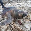 Ecatombe di delfini e tartarughe in Adriatico. Un caso anche a Molfetta