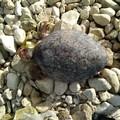 Un'altra tartaruga morta a Molfetta, trovata in spiaggia alla Prima Cala
